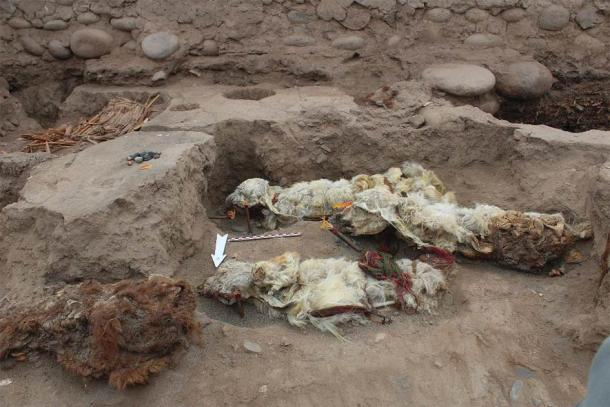 The mummified llama sacrifices found at Tambo Viejo, Peru. Source: L.M. Valdez/Antiquity Publications Ltd