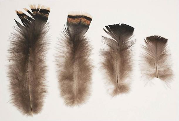 During analysis of the feather blanket, the researchers analyzed feathers of different sizes sourced from pelts of modern turkeys. (Trent Myles Raymer / Science Direct)