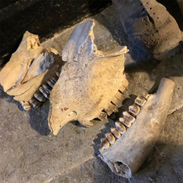 The skull of a horse was also part of the Welsh witchcraft den finds. (Kerrie Jackson / Denbighshire County Council)