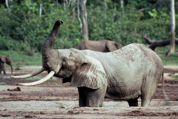 This photo shows an African forest elephant (Loxodonta cyclotis). (Nicholas Georgiadis)