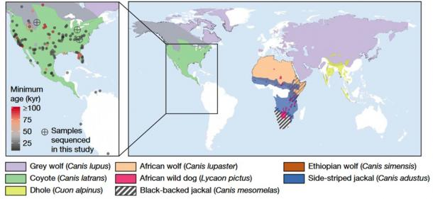 Left: Map representing the distribution of sites in the Americas where dire wolf remains have been identified. Colored circles represent the locations and approximate ages of the remains, with crossed circles representing the five samples that yielded sufficient DNA to reconstruct both mitochondrial genomes and low-coverage nuclear genome sequences. Right: Map of the geographical range of the canid species investigated in this study. (Perri, A.R. et al./Nature)