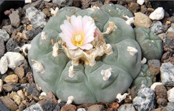 San Pedro (Echinopsis pachanoi) is a hallucinogenic cactus native to the Andean slopes of Ecuador and Peru which is a South American cousin to the Central American peyote.( Peter A. Mansfeld/ CA BY-SA 3.0)