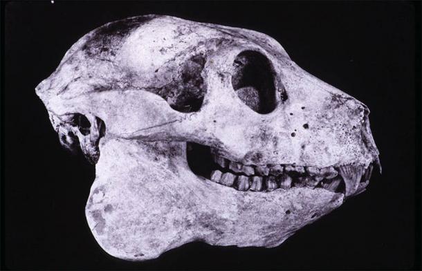 Skull of the extinct giant sloth lemur, Babakotia radofilai. (CC BY-SA 3.0)