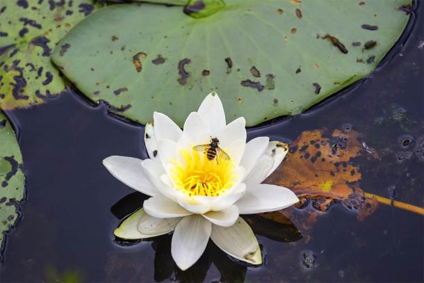 The researchers argue that beekeepers placed the hives on boats so the bees could harvest pollen from aquatic vegetation such as wild shoreline grapevines and water lilies. (Lars Johansson / Adobe Stock)
