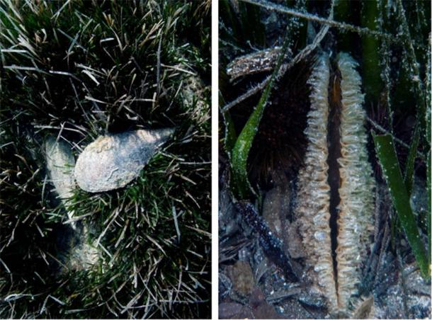 Pinna nobilis shell and byssus or sea silk. (Images Courtesy of Stefano d'Urso)