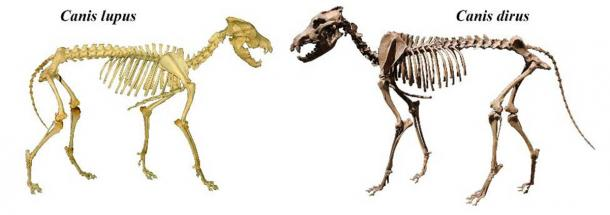 Skeletons of gray (Canis lupus) and dire wolf (Canis dirus). (Mariomassone & Momotarou2012/CC BY-SA 3.0)