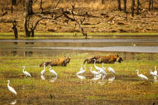 Indian Tigers at the lake in Ranthambore National Park. (Zahirabbaswikiindia / CC BY-SA 4.0)