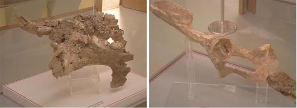 Pelvic bone (left) and a molar of a large hippopotamus's lower jaw (right). (Provided by author)