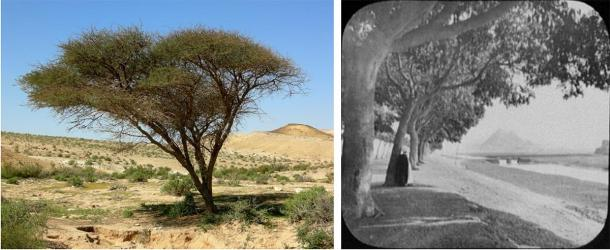 Left: acacia tree, similar to what would have been found in Egypt and across the Levant during Khufu's time, Israel's Negev Desert. (Mark A. Wilson / Public domain). Right: avenue of acacia trees leading towards the pyramids in 19th century Cairo  (William Henry Jackson (1894) / Public domain)
