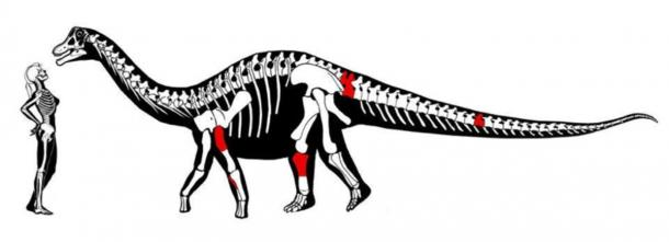Image demonstrating the recently identified titanosaur's size in comparison to a female adult and the fossils that were found (in red). (Federico Kukso/Twitter)