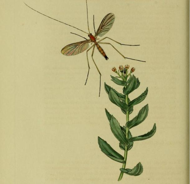 A drawing of an insect with roseroot from John Curtis' 19th century book 'British Entomology'