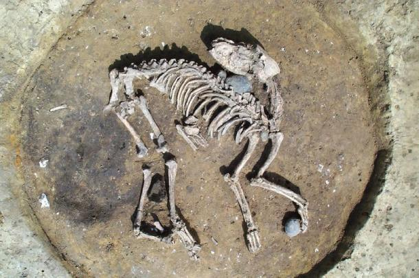 Iron Age dog burial found near large boundary/enclosure ditches. (Wessex Archaeology)