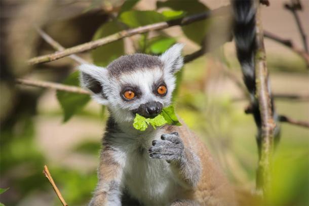 A lemur in Madagascar. (guinevra / Adobe stock)