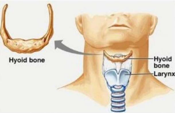 The location of the hyoid bone and larynx in a modern human ( Lasaludfamiliar)