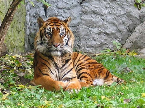 The majestic Sumatran tiger