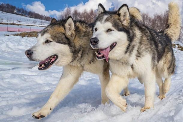 Sled dogs – Alaskan malamute.  (Nikokvfrmoto / Adobe Stock)