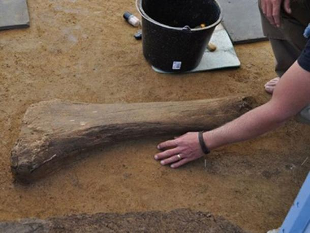 One of the recently found mammoth bones. (Image: Asfinag)