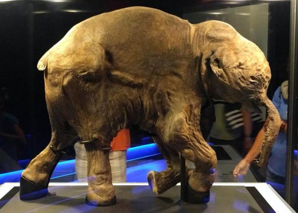 "The frozen mammoth calf ""Lyuba"" which still had food in its stomach. (FunkMonk / CC BY-SA 2.0)"