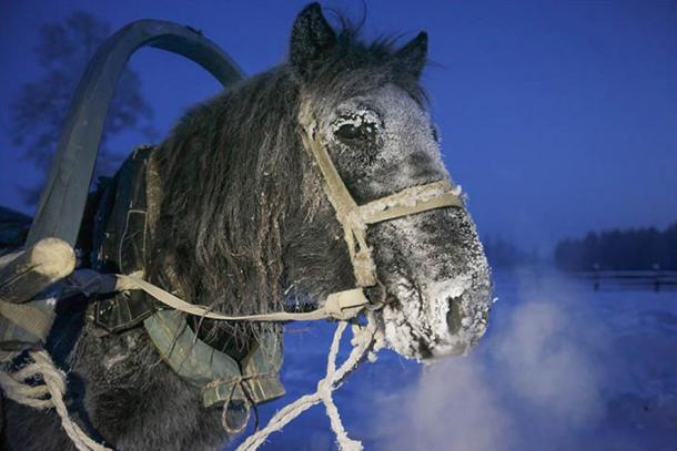 Yet these migrant horses were central to the lives of the population that settled in Yakutia: had these animals not coped with, and thrived on, the cold, these human societies would not have survived.
