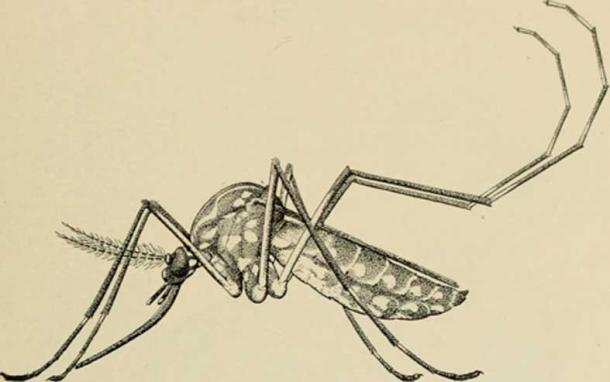 A mosquito pictured in an American Museum of Natural History book.