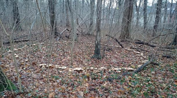 A mushroom ring in the woods.