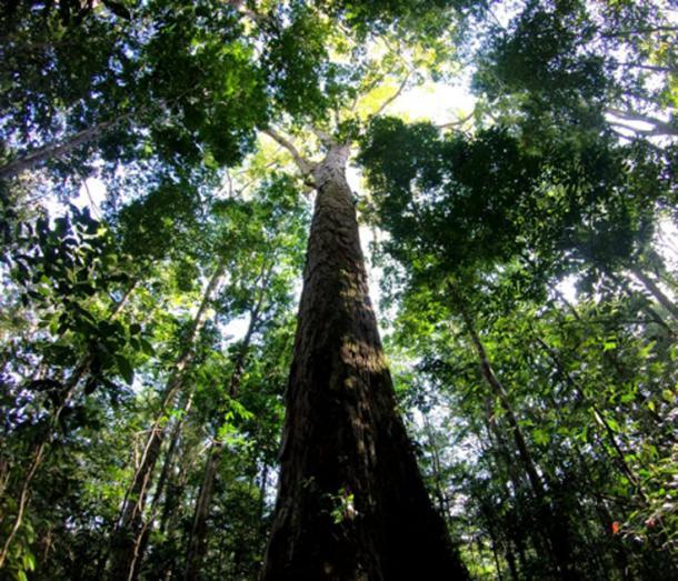 The Amazon's new record-breaking tree. (Tobias Jackson)