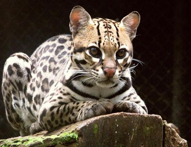 An ocelot in captivity.