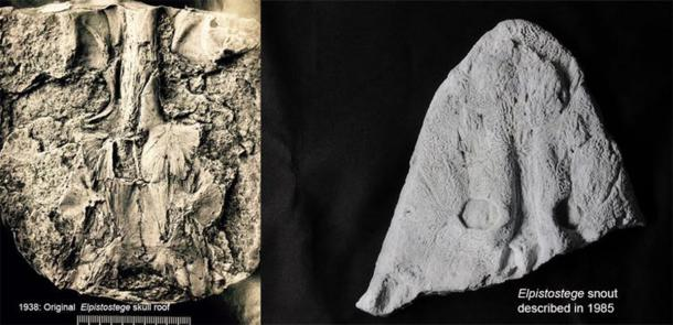 The original finds of the Elpistostege skull roof (left) and front half of the skull. The new specimen confirms these all belong to the one species. Richard Cloutier/UQAR