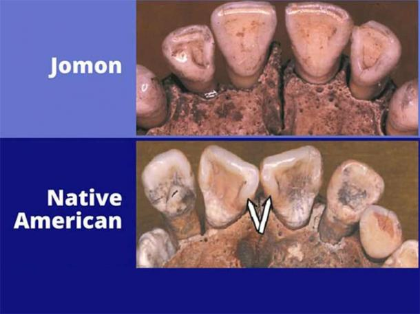 Native American origins are not to be found in Japan, concludes a new study of ancient Jomon and Native American teeth. (Richard Scott / University of Nevada, Reno)