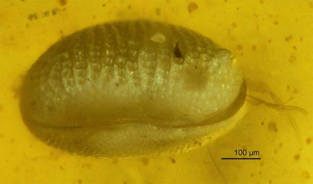 One of the ostracods trapped in amber. (He Wang/XiangdongZhao/Chinese Academy of Sciences)