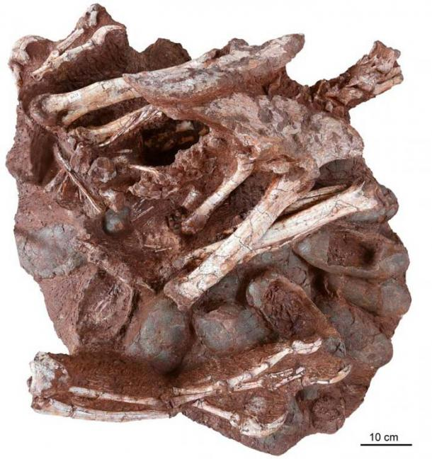 The ~70-million-year-old fossil in question: an adult oviraptorid theropod dinosaur sitting atop a nest of its fossilized eggs. Multiple eggs (including at least three that contain embryos) are clearly visible, as are the forearms, pelvis, hind limbs, and partial tail of the adult. (Shundong Bi, Indiana University of Pennsylvania)
