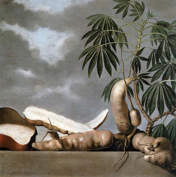 17th c. painting of Cassava plant and tuber