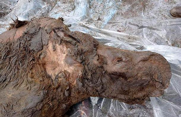 As the ice inside the permafrost increasingly melts across Siberia we will probably continue to see a spike in discoveries such as this woolly rhino. (The Siberian Times)