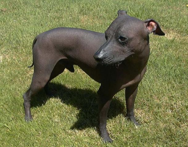 Peruvian hairless dog. (Astrostudy / CC BY-SA 3.0)