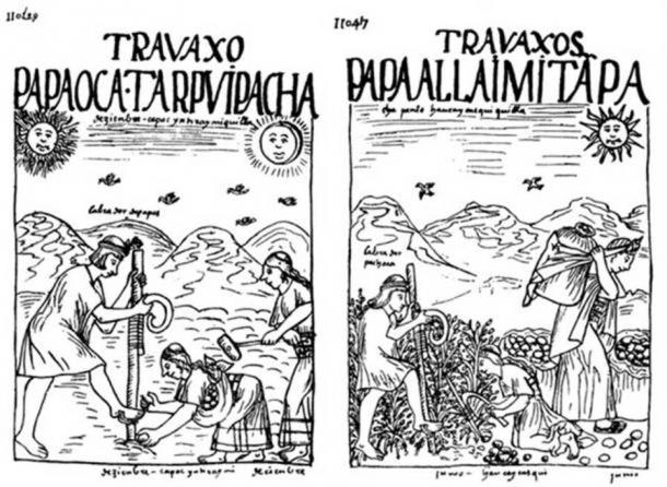 Drawings by Guamán Poma de Ayala showing the planting of potatoes and other tubers (Public Domain) and their harvest. (Public Domain) Note the presence of Inti in the top left and Mama Quilla in the top right of the first drawing and only Inti in the second.