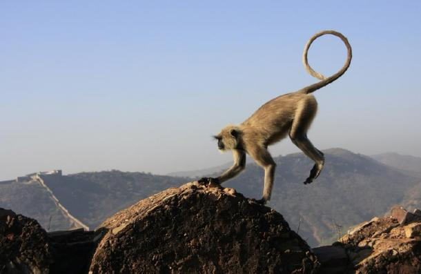 Real grey langur monkey playing, showing similarity with artwork. (donyanedomam / Adobe Stock)