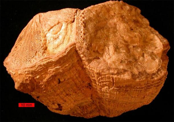 Rudist bivalves (Vaccinites) from the Cretaceous of the Omani Mountains, United Arab Emirates. Scale bar is 10 mm. (Public Domain)