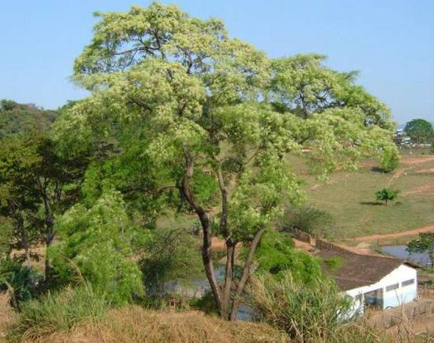 The sacred Huilco tree found in Vilcabamba