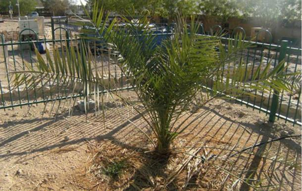 The resurrected Judean date palm in Israel.