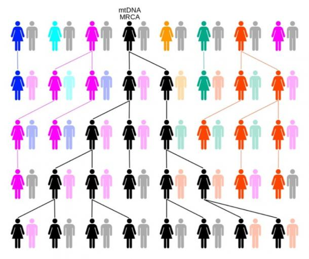 Through random drift or selection, the female-lineage traces back to a single female, known as Mitochondrial Eve. In this example of human origins over five generations colors represent extinct matrilineal lines and black the matrilineal line descended from mtDNA MRCA. (ChrisTi / CC BY-SA 3.0)
