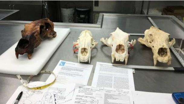 The large, unusually shaped polar bear skull [left] was found at the Walakpa site near Utqiaġvik, Alaska.