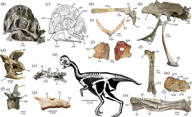 This newly discovered species has just two fingers and no teeth, as can be seen in this skeletal anatomy of Oksoko avarsan. (Gregory F. Funston et. al / CC BY-SA 4.0)