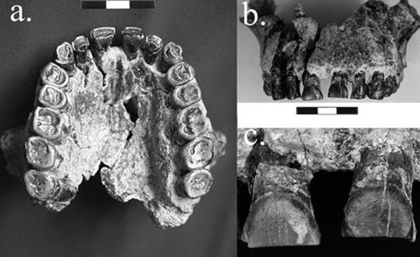 Study finds striations on teeth of a Homo habilis fossil 1.8 million years old moved from left to right, indicating the earliest evidence in the fossil record for right-handedness.