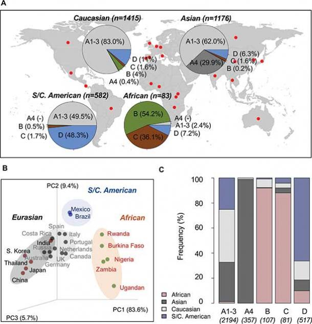 Fig 5 from the latest study. Geographic distribution of HPV16 variants: (A) A total of 3256 HPV16 variants with known geographic origin from 22 countries/regions (see details in Table 3) were assigned into lineage/sublineage and summarized by geographic group in the pie charts. (B) Principle component analysis using a weighted UniFrac algorithm clustered different study cohorts into three distinct groups, namely African, Eurasian (Asian and Caucasian) and South/Central American, mainly associated with a predominant population from which viruses were sampled. (C) Relative frequency of HPV16 lineages/sublineages distribute into four major geographic populations (African, Asian, Caucasian, and South/Central American). (Plos Pathogens)
