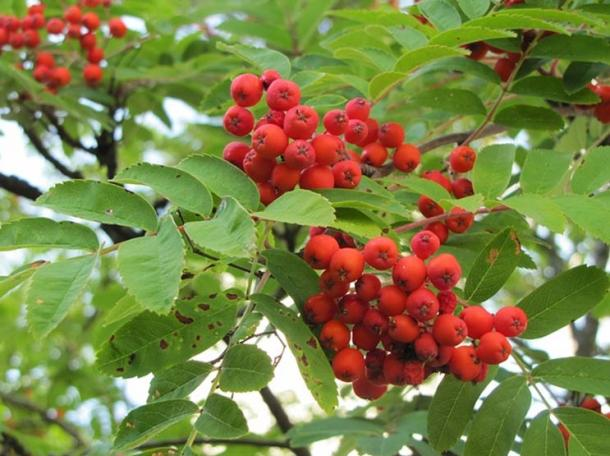 The tart red berries of the Rowan tree
