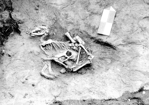 Just below the dog were the cranium, mandible and lower leg bones of a calf. These calf remains may have been left attached to the hide and used to wrap the dog, which appears to have been a sacrificed animal.