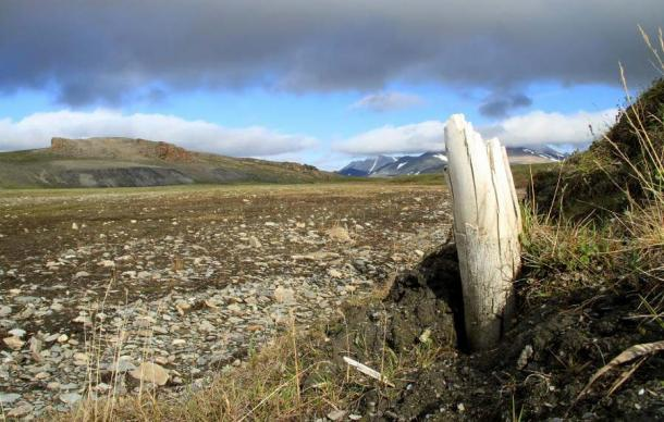 Woolly mammoth tusk emerging from permafrost on central Wrangel Island, located in northeastern Siberia. (Credit: Love Dalén)