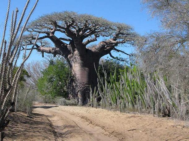 The upside-down look of a bare Baobab Tree