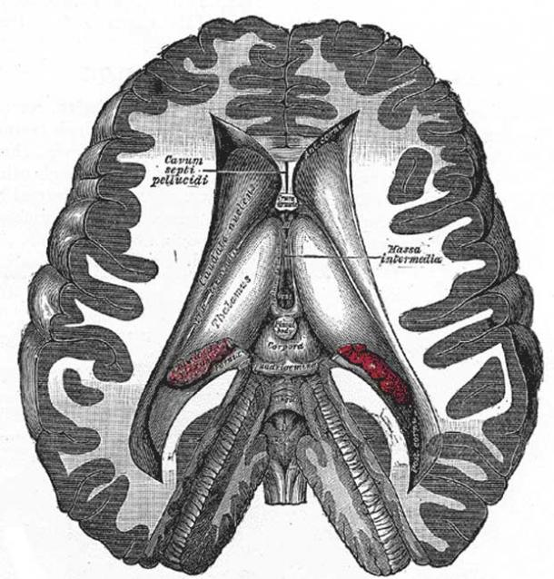 Dissection showing the ventricles of the brain – note the central position of the pineal gland (pineal body), here colored in grey.