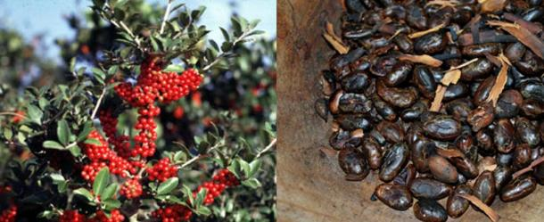 The Holly/Ilex vomitoria plant, left (Public Domain) and toasted cacao beans, right (CC BY-SA 3.0) were used to make the traditional caffeinated Black Drink.